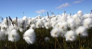 organic-cotton1